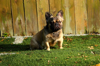 Donna French Bulldogs-13